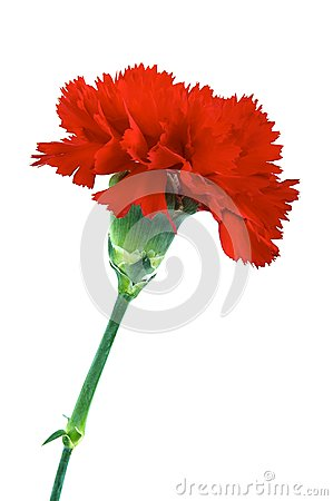 Free Red Carnation Royalty Free Stock Photo - 28127735