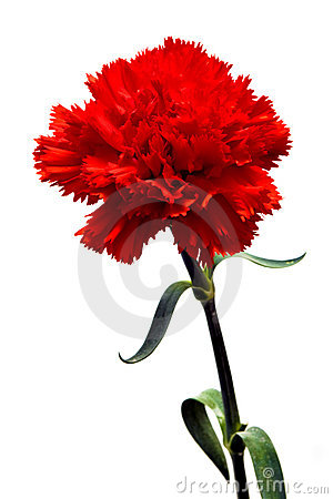 Free Red Carnation Stock Image - 5664081