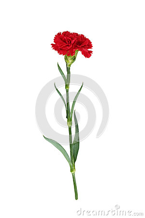 Free Red Carnation Stock Image - 66499671