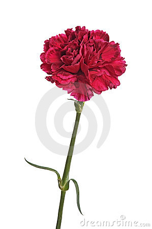 Free Red Carnation Flower Stock Photos - 16867563