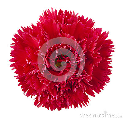 Free Red Carnation Flower Royalty Free Stock Photography - 25383887