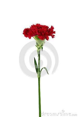 Free Red Carnation Flower Isolated Stock Photos - 48085623