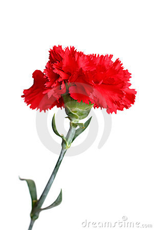 Free Red Carnation Flower Isolated On White Stock Photo - 8217250
