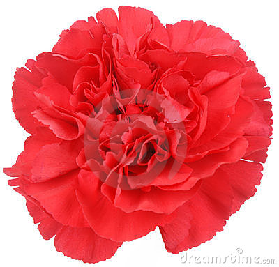 Free Red Carnation Flower On White Stock Image - 20015641