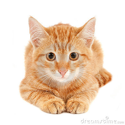 Free Red Cat Stock Photo - 16532510