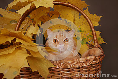 Red cat in basket