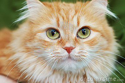 Red cat with big green eyes