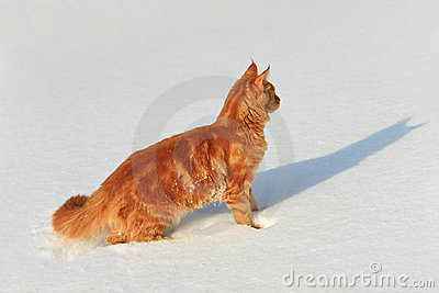 Red cat goes on a snow