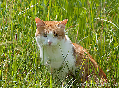 Red cat in the grass