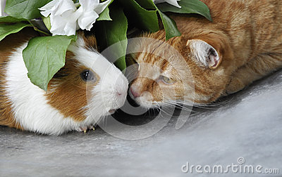 Red cat and Guinea pig
