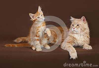 Red Cat and kitten Maine coon.