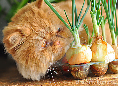 Red Cat And Onion Royalty Free Stock Images - Image: 23668999