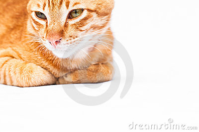 Red cat on white background.