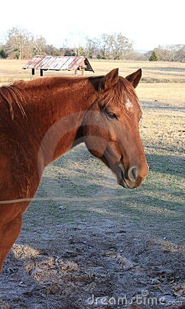 Red Chestnut Gelding Quarter Horse
