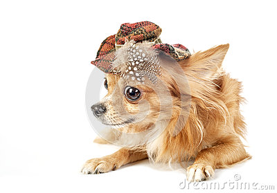 Red Chihuahua dog wearing tartan hat