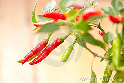 Red chilli pepper plant, very hot!