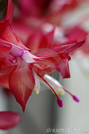 Free Red Christmas Cactus Royalty Free Stock Photo - 197355