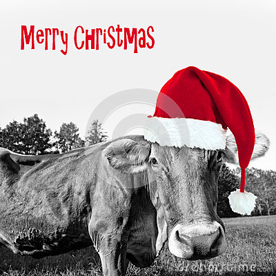 Free Red Christmas Hat On A Black And White Cow, Merry Christmas Royalty Free Stock Image - 62844556