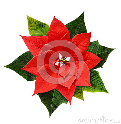 Free Red Christmas Poinsettia Flower Stock Images - 96127504