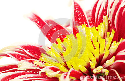 Red Chrysanthemum Closeup