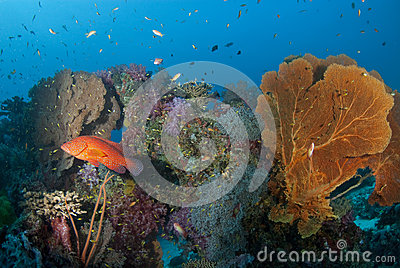 Red cod and seafan, Thailand.