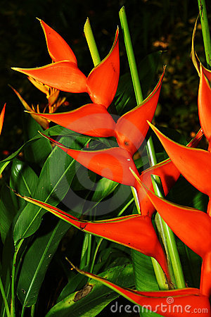 Red color heliconia flower