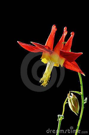 Red columbine flower on black background