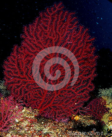 Free Red Coral Royalty Free Stock Images - 77437079