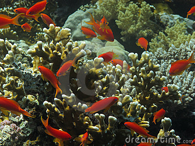 Red coral fishes under water.