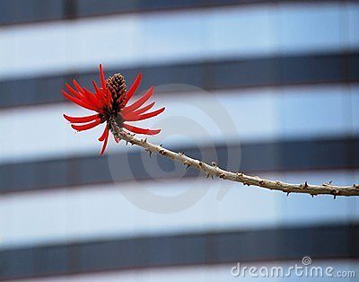 Red Coral Tree Flower