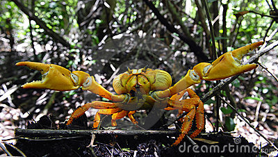 The red crab is protected.