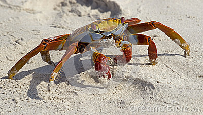 Red crab on the sand 1