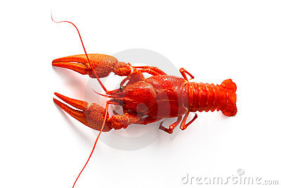 Red crayfish