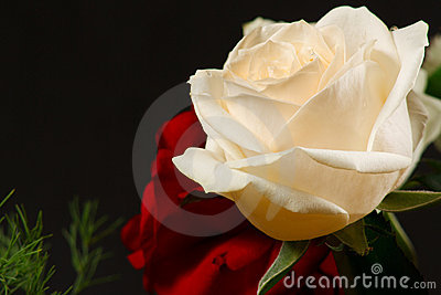 The red and creamy roses