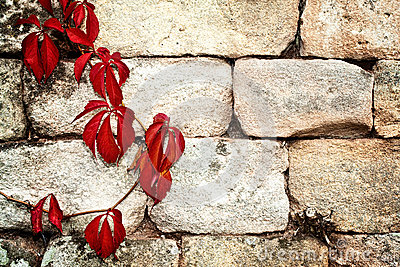 Red creeper plant on a vintage  wall