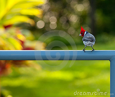 Red crested cardinal on fence in Kauai