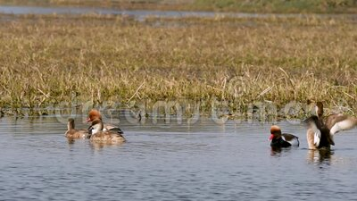 Red crested pochard family in water and colorful scenic background of keoladeo landscape. wildlife scenery frame at keoladeo. National park or bird sanctuary stock video footage