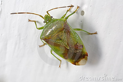 Red-crossed stink bug