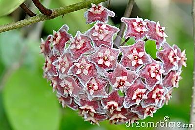 Red crown star flower