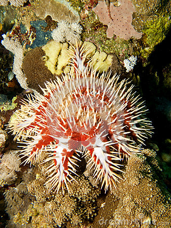 Red crown-of-thorns starfish