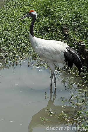 Red-crowned Crane Stock Images - Image: 21131894