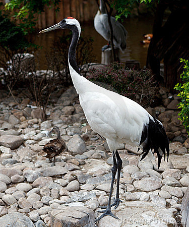 Free Red-crowned Crane Or Japanese Crane Royalty Free Stock Images - 23509289