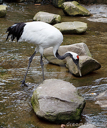 Free Red-crowned Crane Or Japanese Crane Royalty Free Stock Images - 23509319