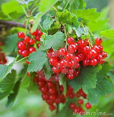 Free Red Currant Stock Image - 1600451