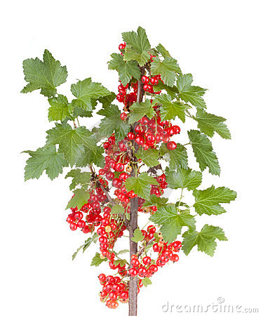 Free Red Currant Stock Photo - 20070460