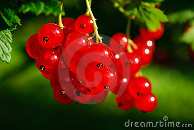 Red currant berries (Ribes rubrum)