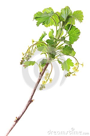 Red currant (Ribes rubrum)