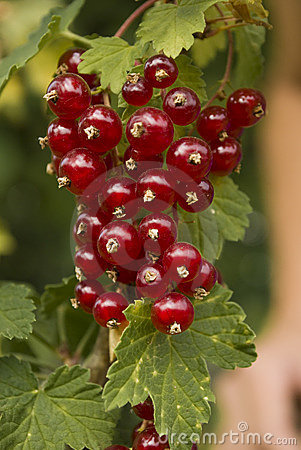 The red currants