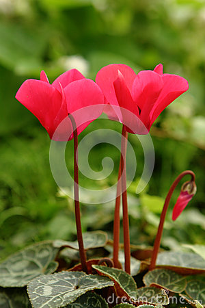 Free Red Cyclamen Stock Photo - 43680460