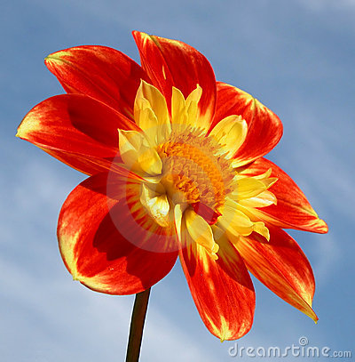 Free Red Dahlia Stock Images - 27704